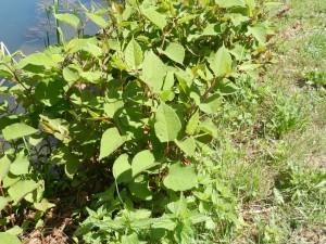 la belle renouée du japon , plante envahissante terrestre les jeunes pousses sont comestibles (et de bon goût)les grosses tiges, très joliment mouchetée sont utilisées en décoration florales et se récoltent en septembre;