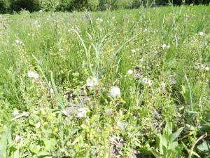 dans d'autres jardin la prèle partage le terrain avec les oignons et chacun profite bien .